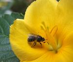 Las fantasía de una abeja